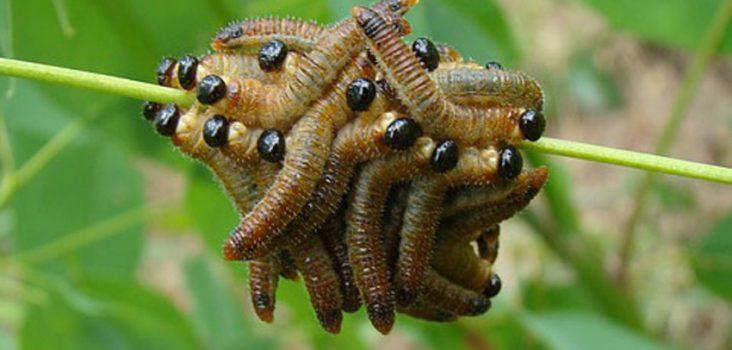 Raupen auf einer Pflanze