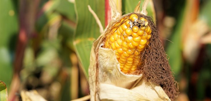 Maiskolben auf Maispflanze