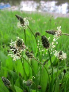 Spitzwegerich mit Blüte